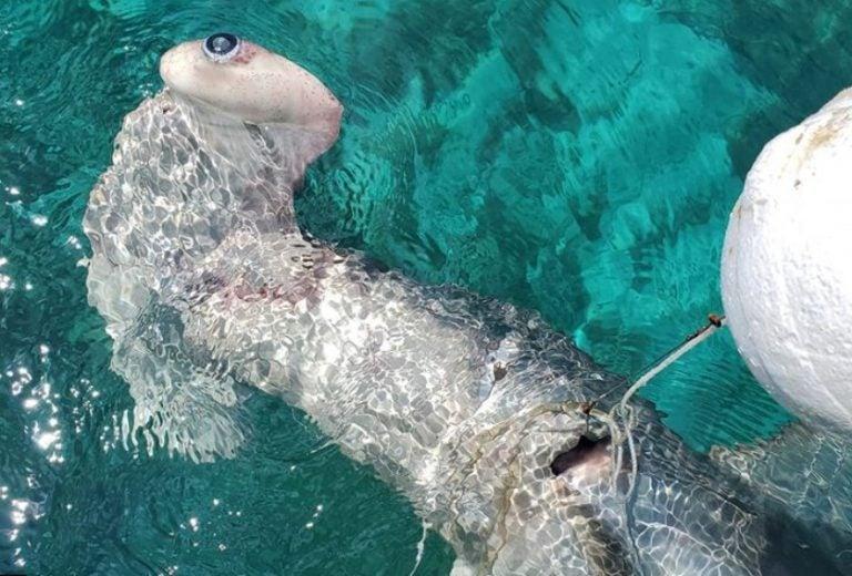Artes de pesca y tráfico de aletas: verdugos de tiburones en el Caribe hondureño