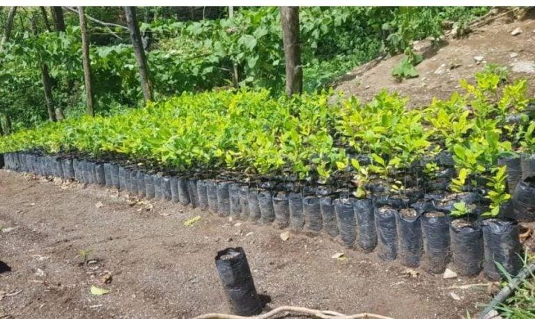Hallan supuestas plantaciones de hoja de coca en Iriona, Colón