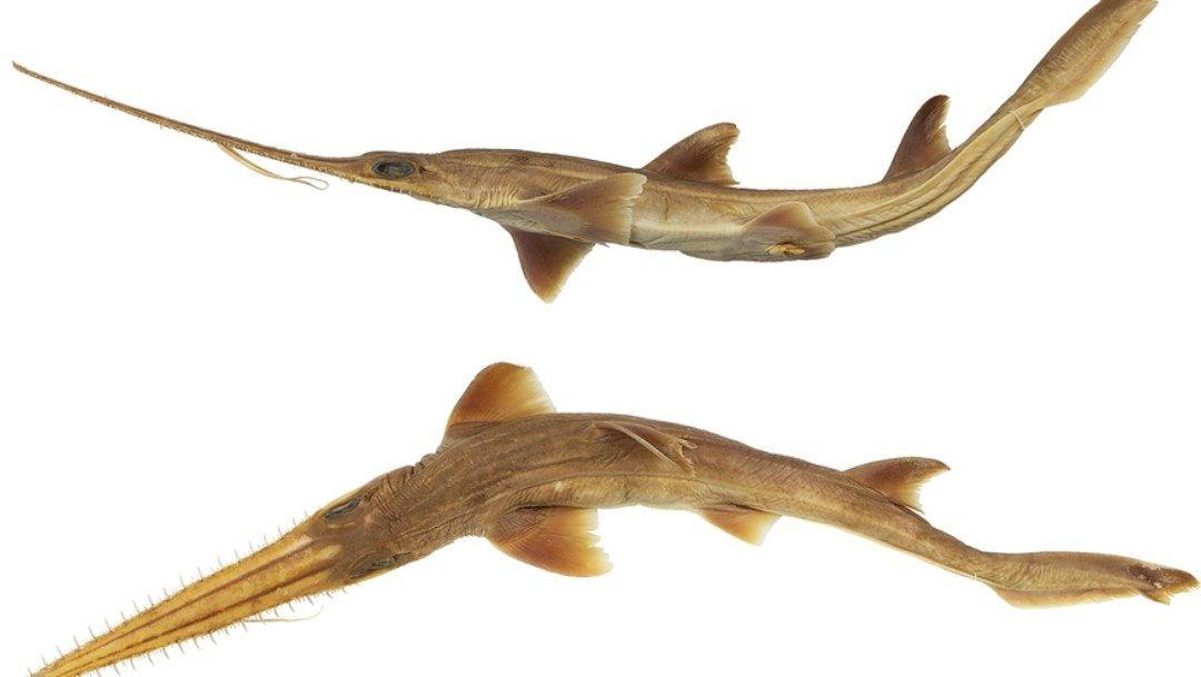 Las nuevas especies, bautizadas como Pliotrema KajaeyPliotrema Annae, viven entre Madagascar y Zanzíbar.