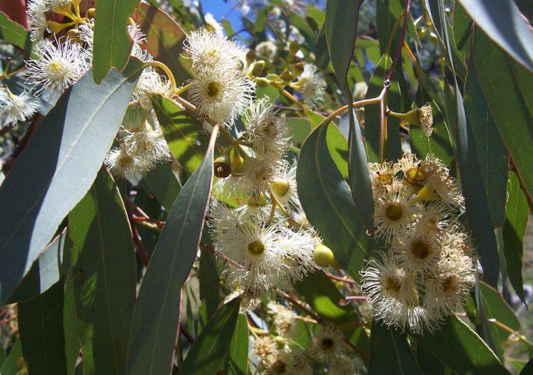 El eucalipto ayuda a contrarrestar las enfermedades respiratorias