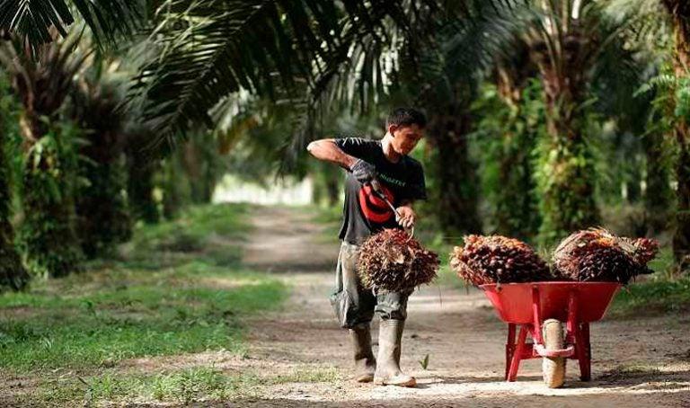 Precio del aceite de palma desciende un 38%, indican productores