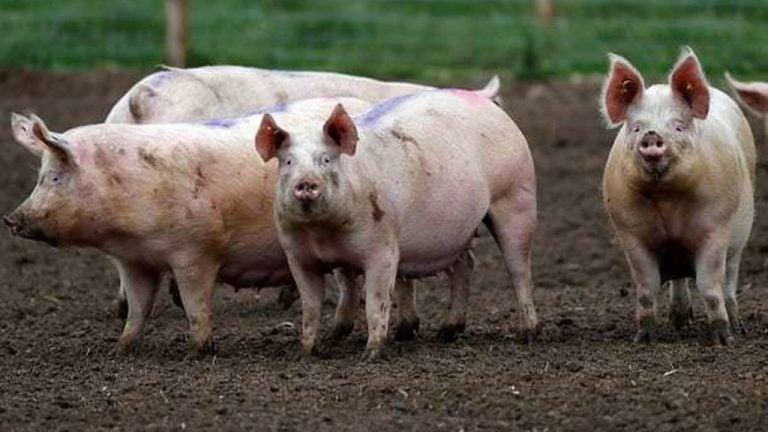 Porcicultores ofrecen 3mil cerdos por L20 millones para mitigar golpe económico