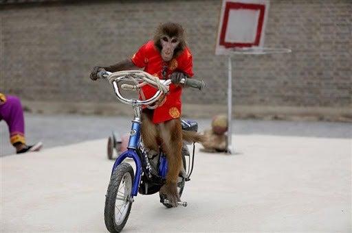 VIDEO | Intrépido mono en bicicleta intenta secuestrar a una niña