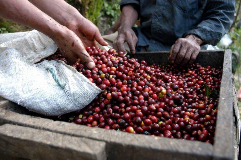 Cae precio del café: Productores piden al IHCAFÉ devolver los L1,600 millones