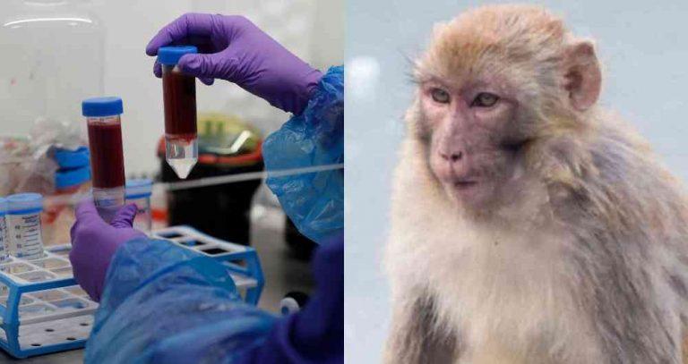 """La India: Monos """"roban"""" muestras de sangre de pacientes con coronavirus"""