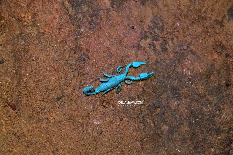 Encuentran escorpión insular, especie endémica de Islas de la Bahía