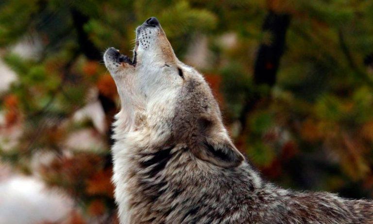 Estudio de la Universidad de Viena revela por qué aúllan los lobos