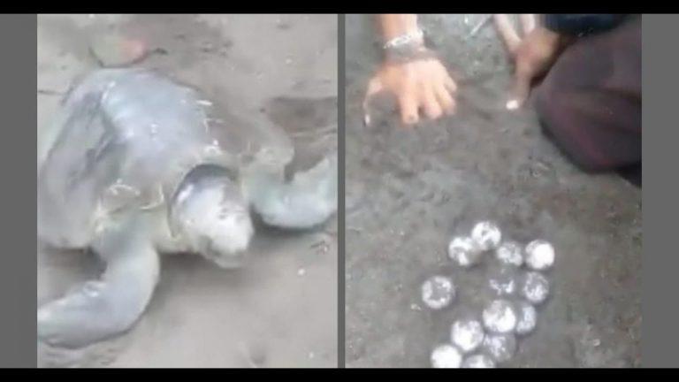 VIDEO   Cedeño: en pleno desove, despojan a tortuga de sus huevos