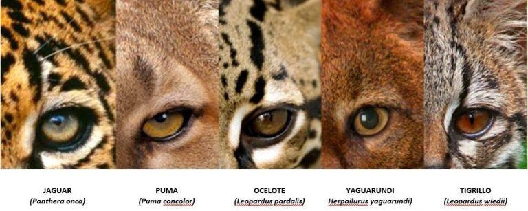 Honduras cuenta con cinco de siete felinos registrados en Mesoamérica