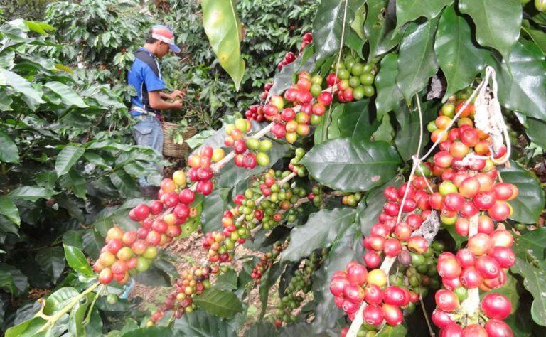 Cafetaleros sugieren un protocolo de bioseguridad efectivo; prevén cosecha prometedora