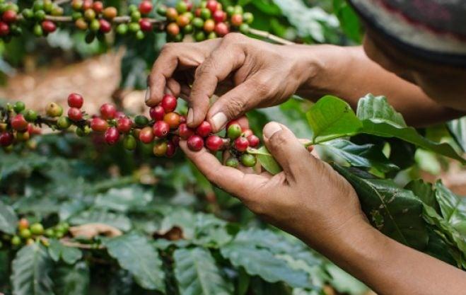 A dos días para iniciar año cafetalero, productores hondureños no tienen solvencia económica