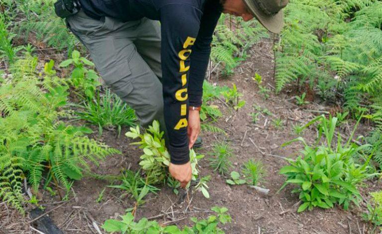 """PN: Bandas criminales obligan a campesinos a sembrar """"coca"""" y """"moña»"""
