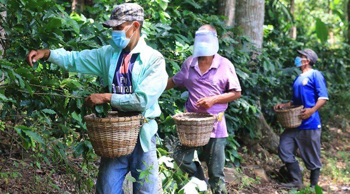 corteros de café El Paraíso