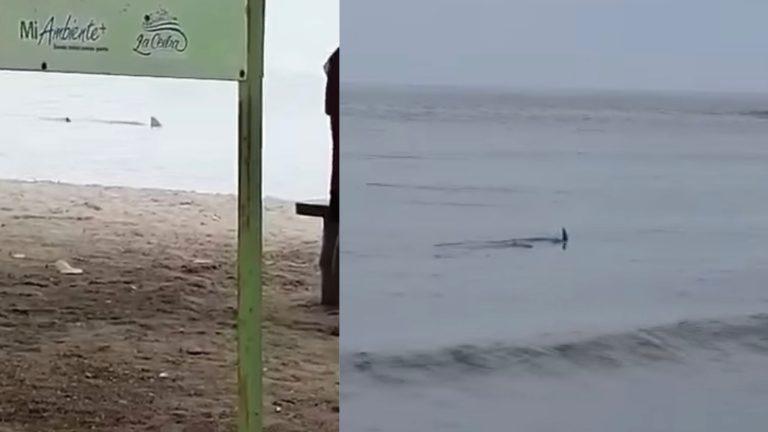 «Son buenas noticias, es un animal amenazado»: biólogo sobre tiburones en La Ceiba