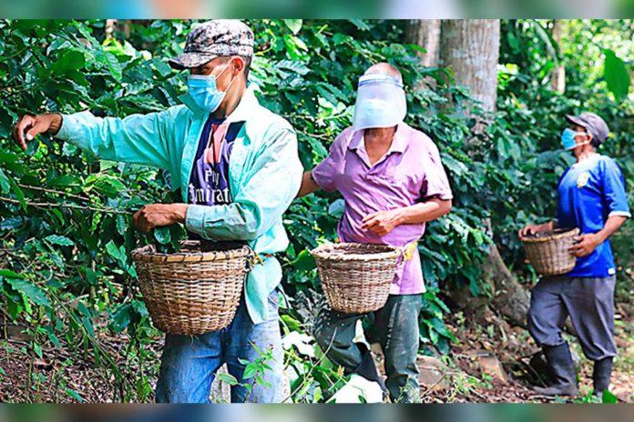 cortadores de café en Honduras