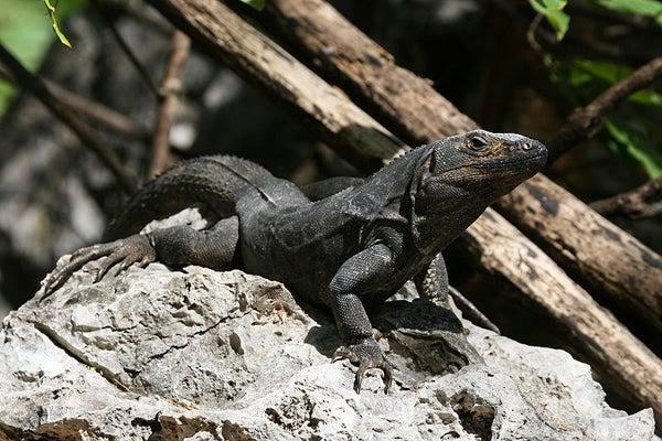 especies endémicas Islas de la Bahía