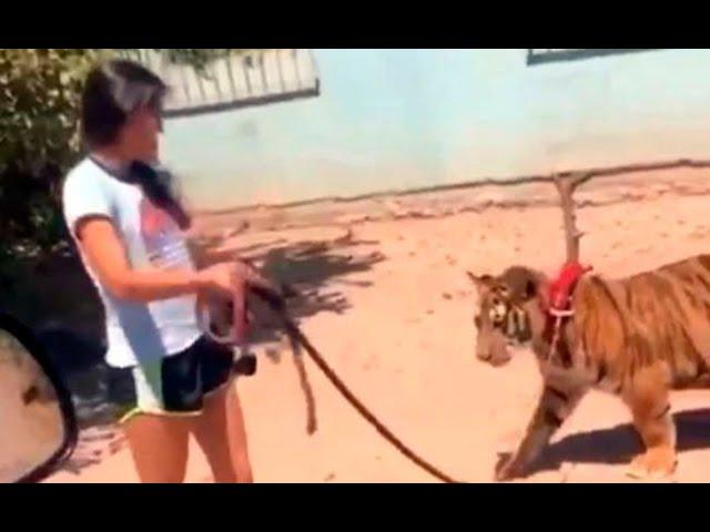 VÍDEO| Como si fuera un perro, niña pasea a su tigre en México