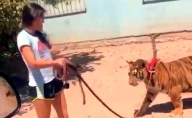 Niña pasea tigre en México