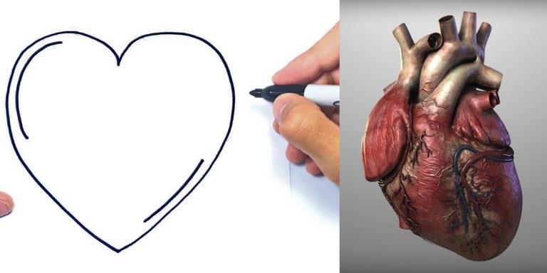 ¿Por qué el símbolo que representa al corazón es distinto a su forma real?
