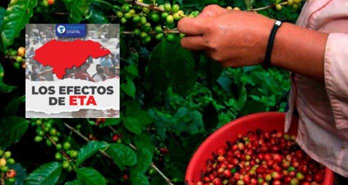 cultivos de café Eta