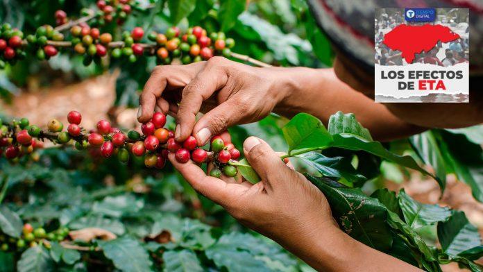 productores de café Eta Honduras
