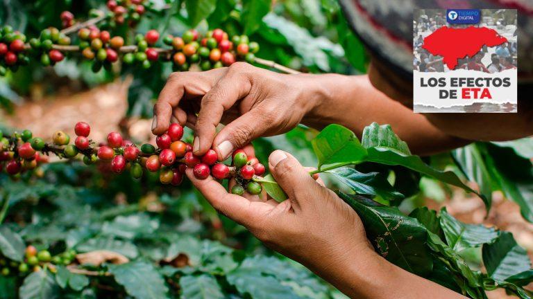 """""""Estamos solos"""": Eta agrava situación de más de 100 mil productores de café"""