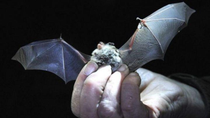 Cifras del coronavirus  Encuentran parientes del COVID en murciélagos congelados