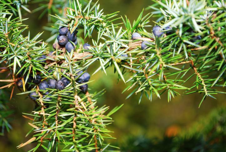 Planta «enebro», un aliado para la artritis, piel y digestión