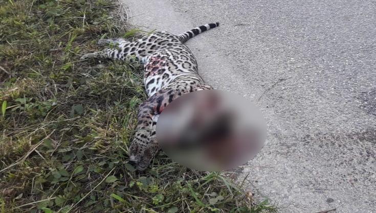 matan a leopardo