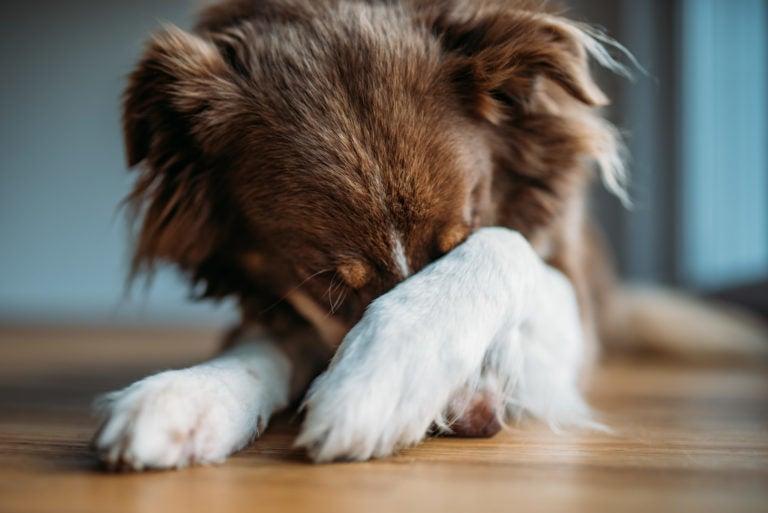 Protejo mascota ruido pirotecnia