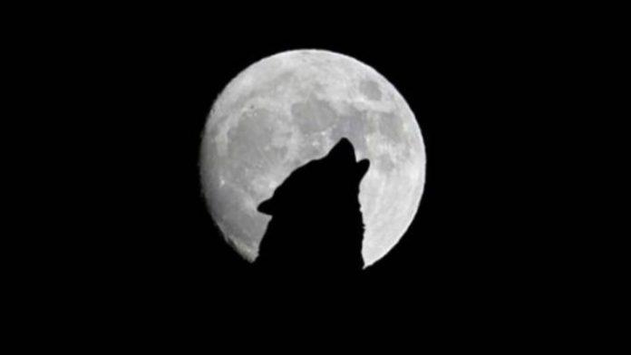 Luna llena lobo