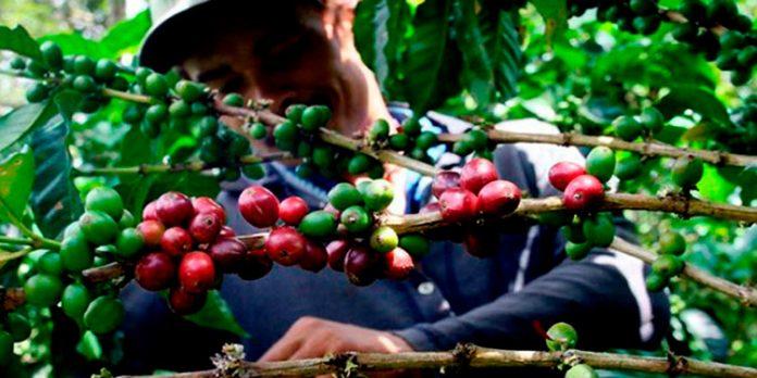 exportación de café 2021