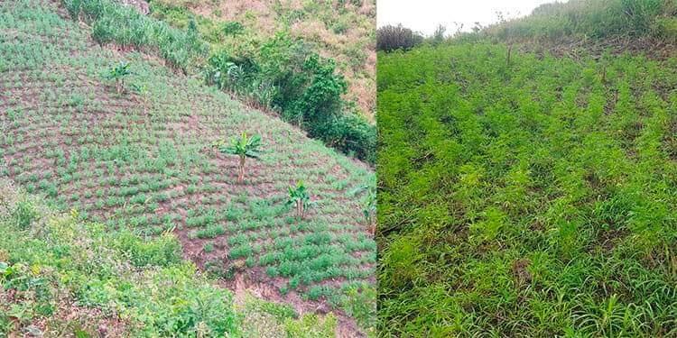 Colón: incautan más de 15,000 arbustos de supuesta marihuana en Tocoa