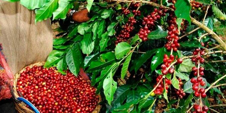 Cafetaleros perdieron más de un millón de quintales de café por Iota y Eta