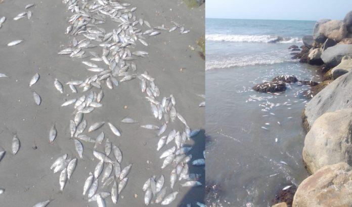 peces muertos en Omoa