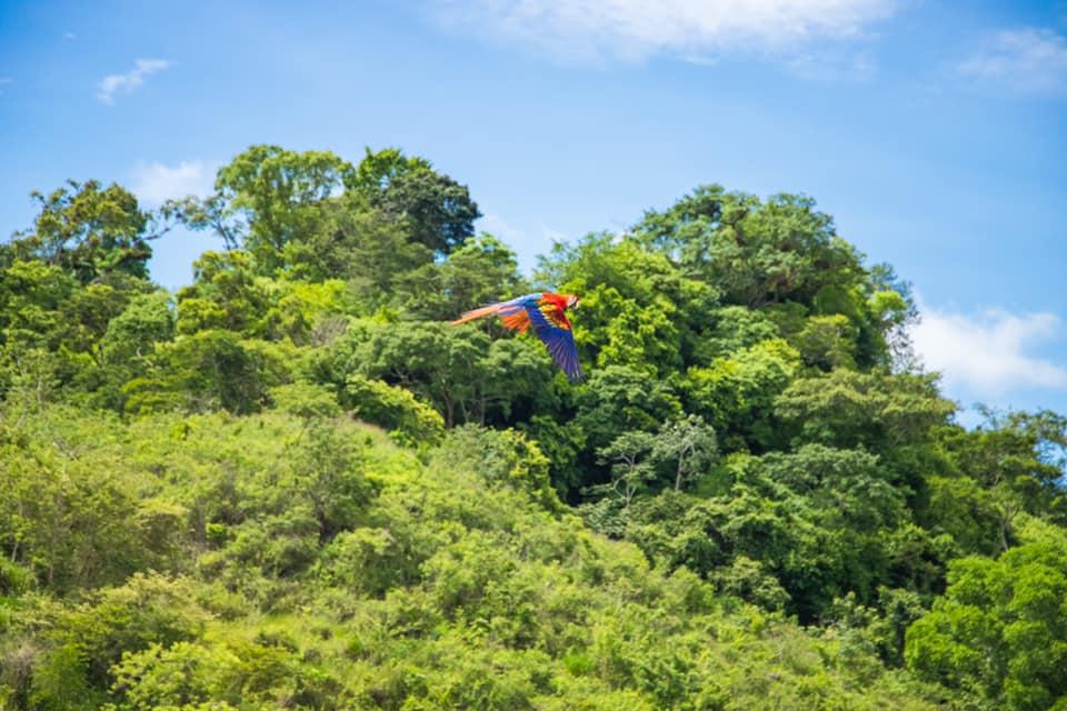 liberación de guacamayas Copán Ruinas