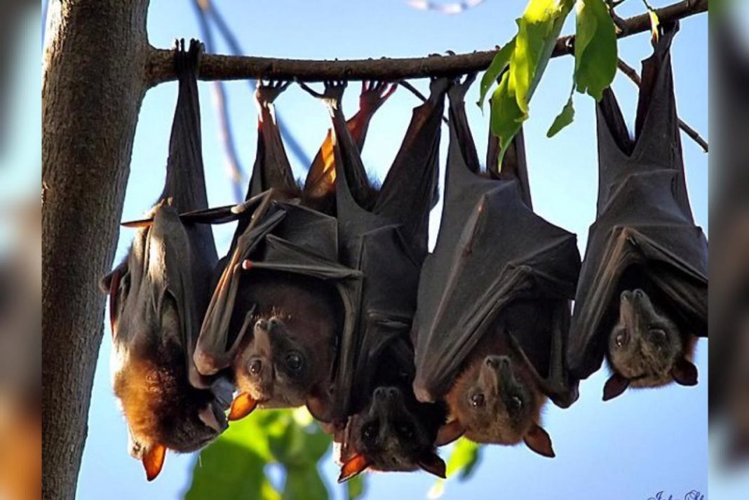 nuevos coronavirus en murciélagos