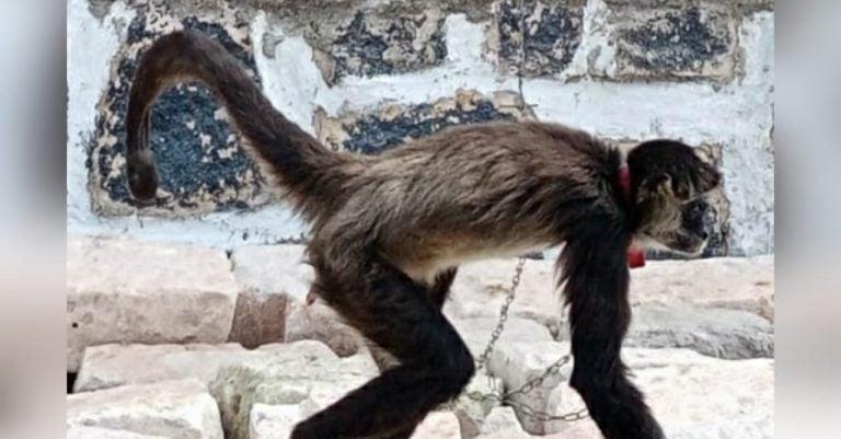 Honduras   Rescatan a dos monos que eran maltratados y encadenados