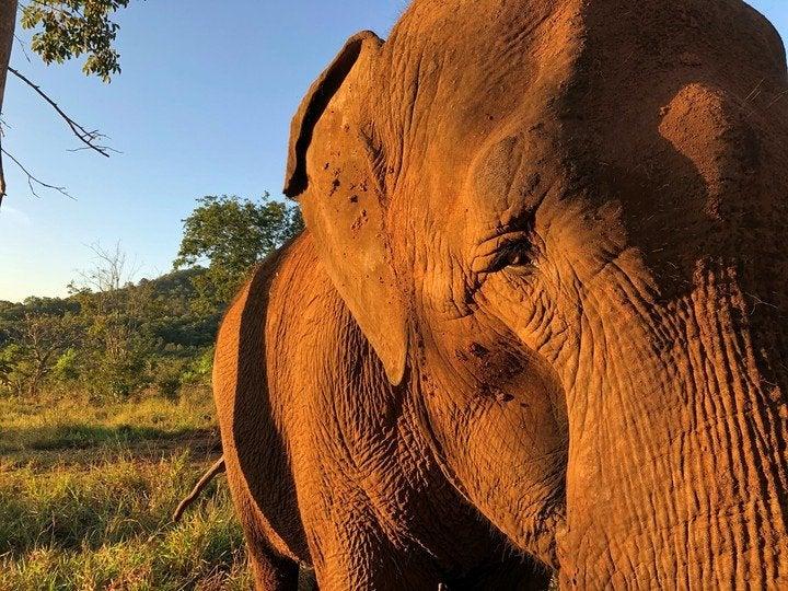 """Habilitan el primer """"traductor"""" para saber qué dicen los elefantes"""