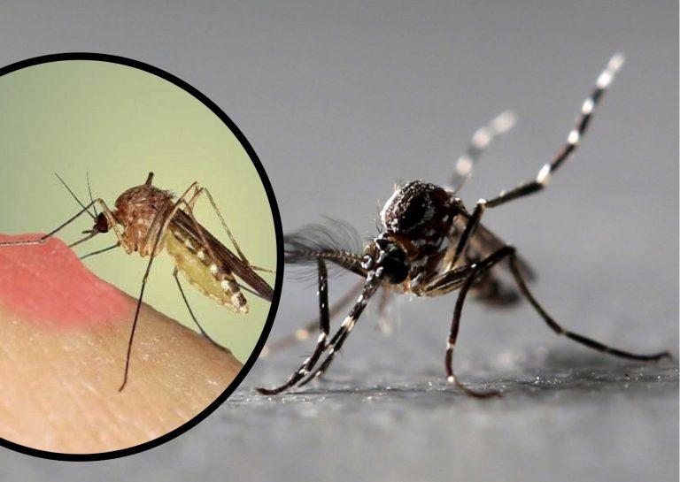 EEUU: detectan mosquitos portadores de un virus que paraliza a los humanos