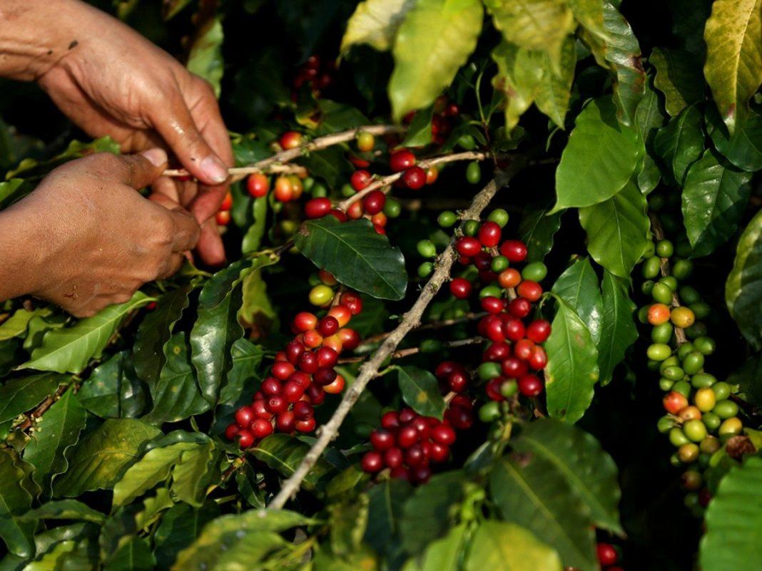 problema rubro del café en Honduras
