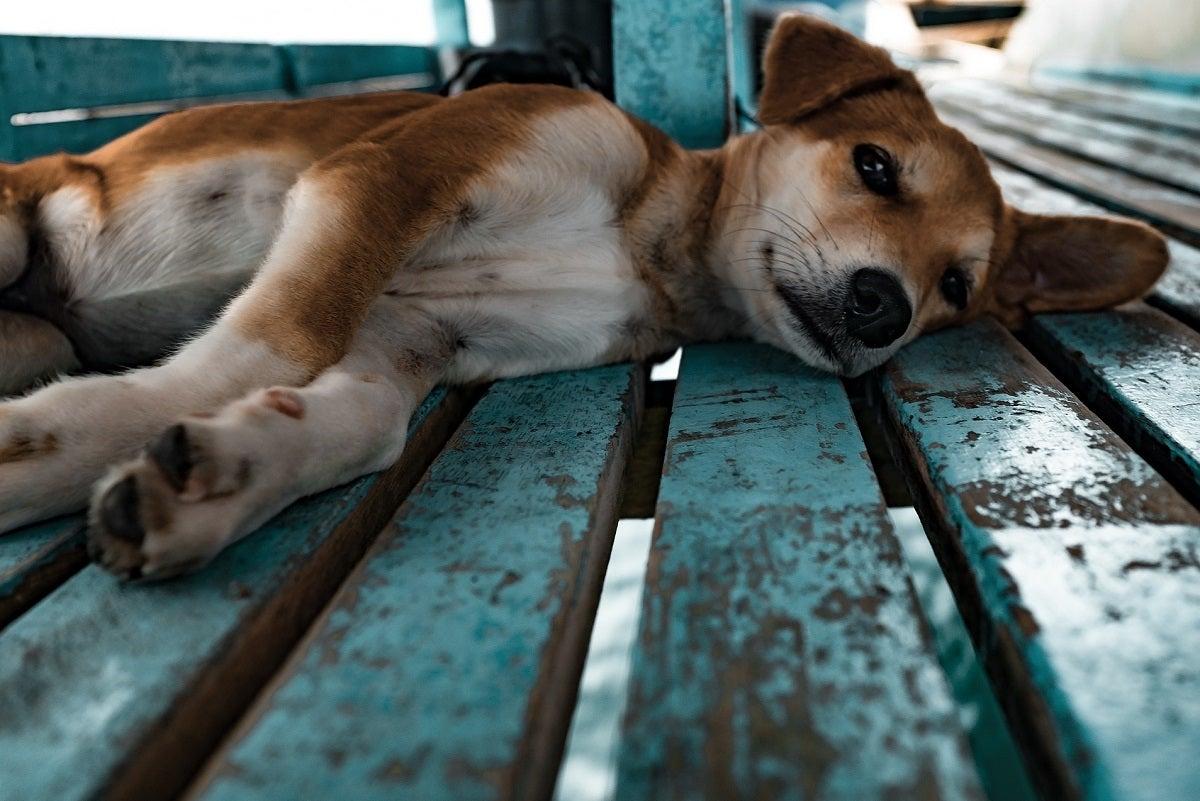 cachorro-pixabay
