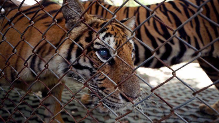 EEUU comienza a vacunar contra el covid a los animales en un zoológico
