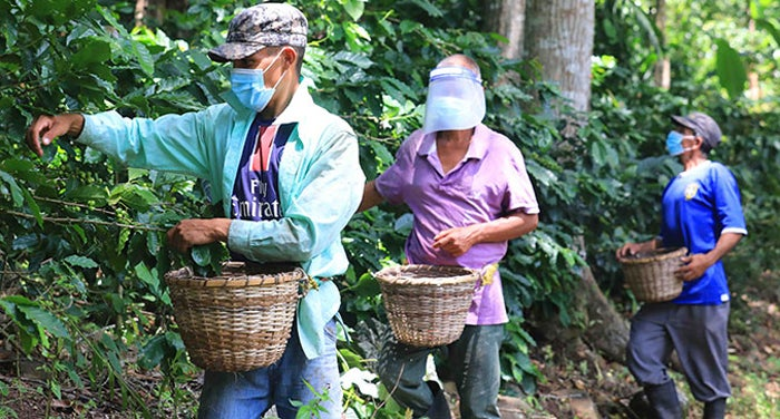 Productor prevé reducción de cinco mil quintales de café
