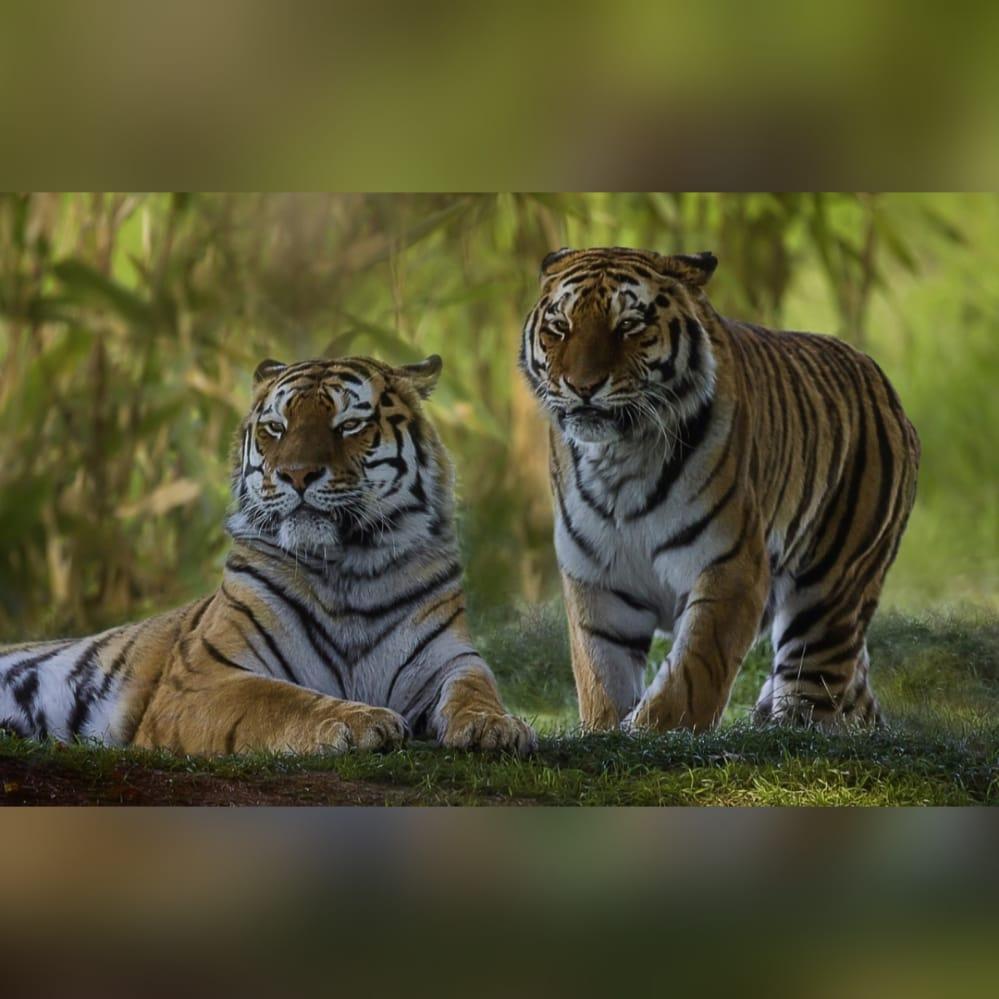 Dos tigres dan positivo a COVID-19