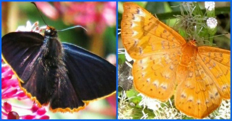 Publican hallazgo de nuevas especies de mariposas en Honduras