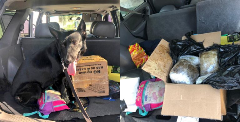 La Ceiba: canino detecta ocho paquetes de «marihuana» en un carro