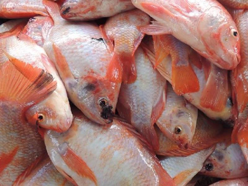 El pez rojo es de los favoritos de las personas.