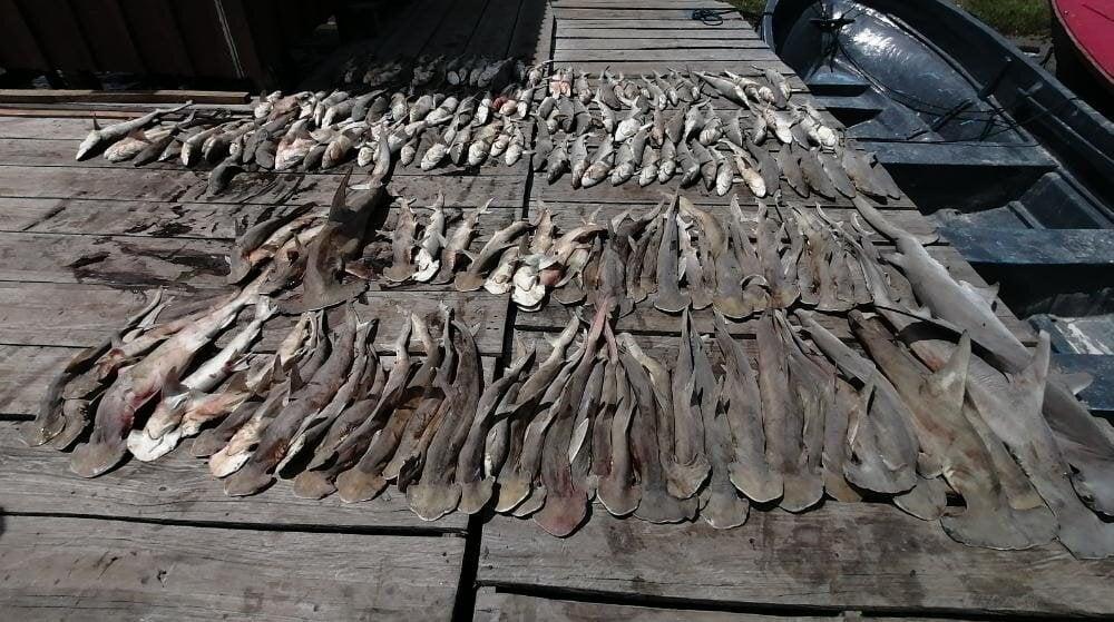 Decomisan tiburones en Gracias a Dios