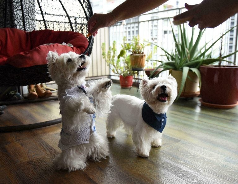 """""""Dogfluencers"""", perros de Singapur que son tendencia en Instagram"""